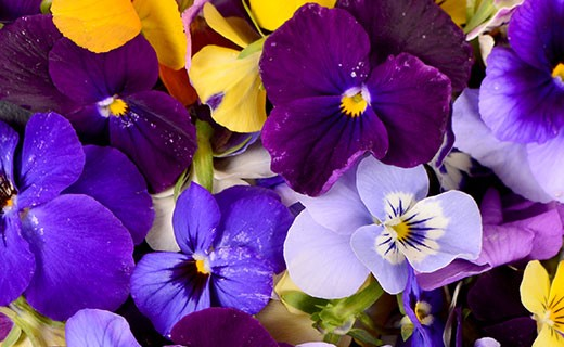 Fleurs de Pensée - Edélices Primeur