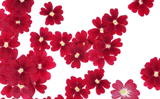 Fleurs comestibles séchées de verveine rouge - Neworks