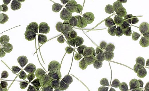 Trèfles à 4 feuilles comestibles séchés - Neworks