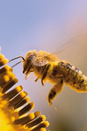 Propolis, pollen, gelée royale, quelle différence ?