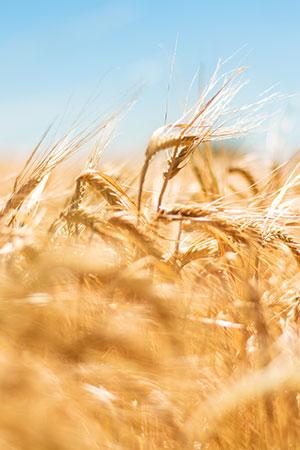Crise du blé : quel impact sur nos producteurs ?